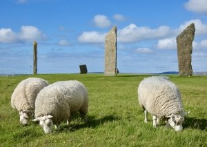 Sheep at Ring of Brodgar, Orkney, Scotland, UK